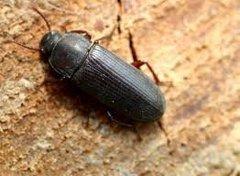 beetle.bmp