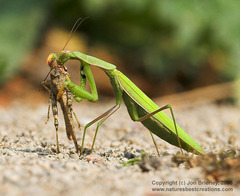 PrayingMantis06.jpg